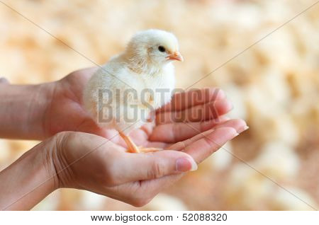 Female hands holding a chick in chicken farm.