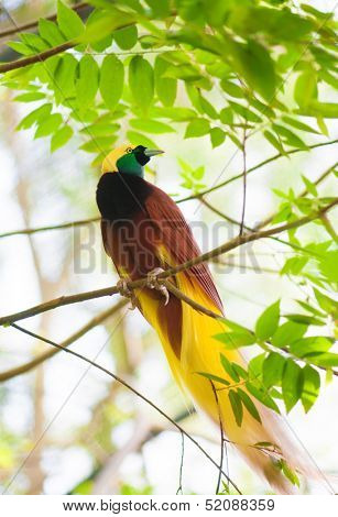 Bird of paradise in the jungle. One Of the most exotic birds in Papua New Guinea.