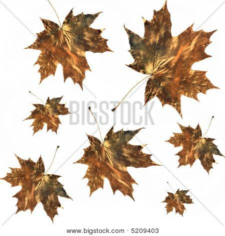 Burnished Golden Maple Leaves