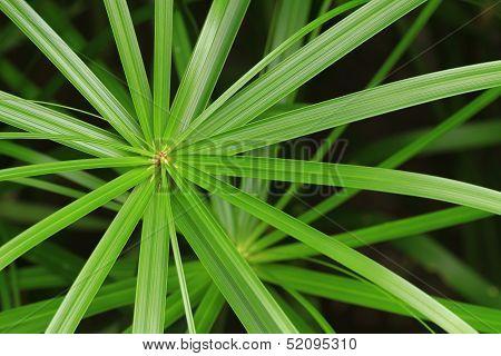 Papyrus Green Leaf
