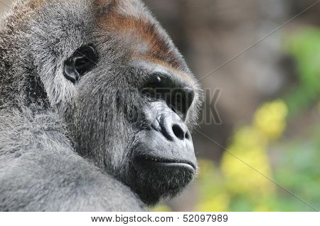 One Adult Black Gorilla