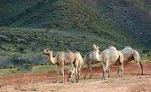 stock photo of hump day  - Five camels relax towards the end of the day - JPG