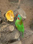 image of king parrot  - lorikeet being tempted by an orange left on a tree - JPG