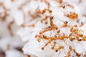 image of fire ant  - Red fire ants on the rice in home - JPG