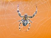 Top View Of Spider At Cobweb