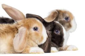 picture of dwarf rabbit  - Close - JPG