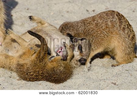 Meerkat (suricate) Playing With Other Members Of Family