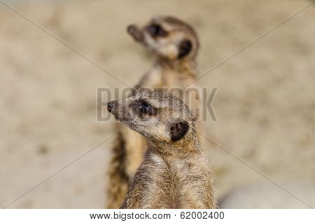 Meerkats (aka Suricate) On Guard Duty