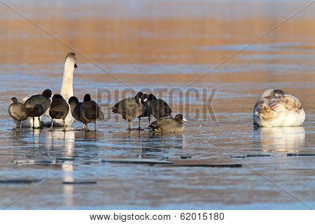 Coots And Swans On Frozen Waters