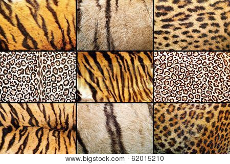 Tiger And Leopard Different Real Patterns