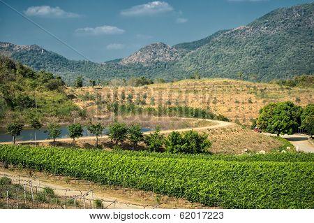 Tropical vineyards