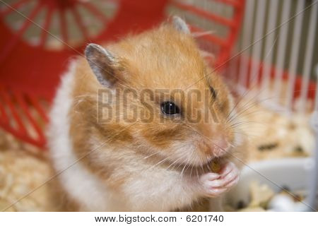 Hamster Eating