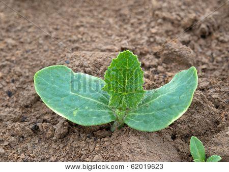 Cucumber Plant
