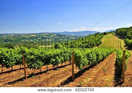 Summer landscape with vineyard in rural Serbia