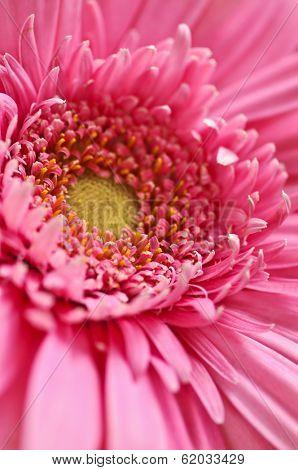 Closeup of brightly colored pink gerbera flower petals