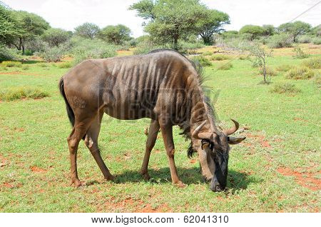 Blue Wildebeest Grazing