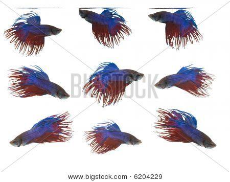 Grupo de peixes siameses