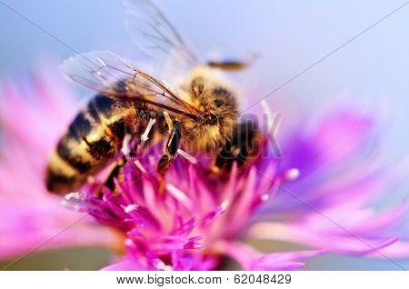 Close up of honey bee on knapweed flower