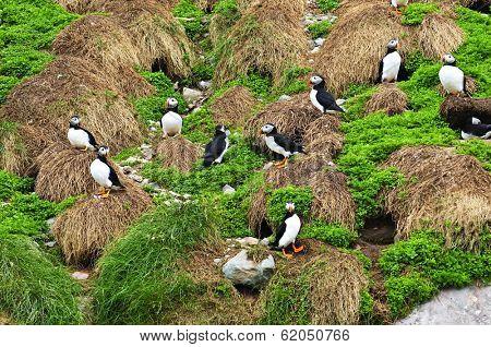Puffin birds nesting on island in Newfoundland, Canada