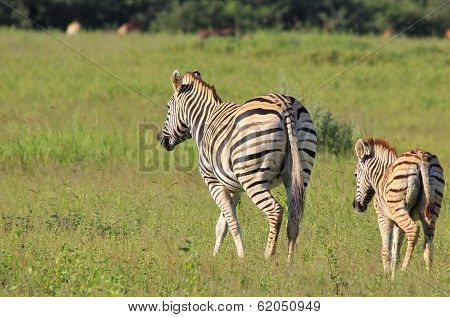 Zebra Background - Wildlife from Africa - Baby Animals