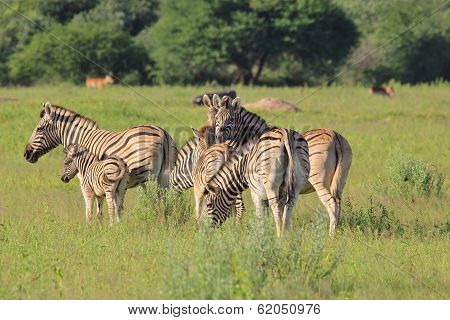 Zebra Background - Wildlife from Africa - Mothers and Babies