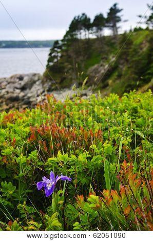 Blue flag iris wild flower at Atlantic coast in Newfoundland Canada