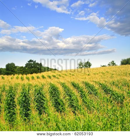 Agricultural landscape of corn field on small scale sustainable farm