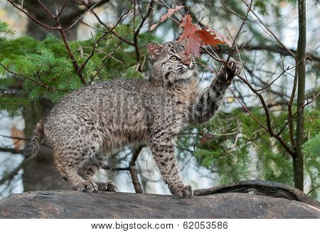 Bobcat Kitten (Lynx rufus) Plays With Leaves Atop Log