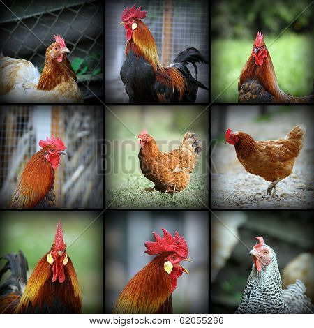 Beautiful Images With Farm Birds
