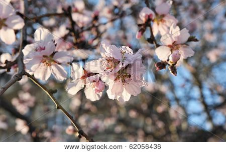Spring Flowering Apricot.