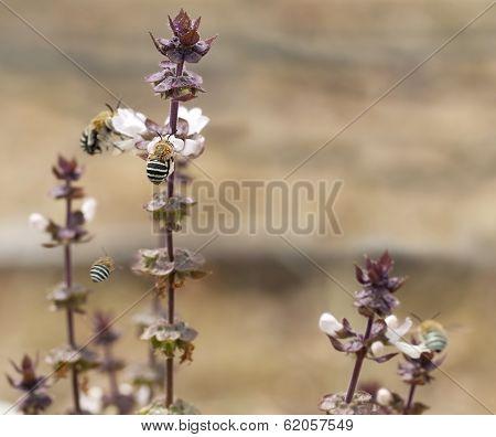 Australian Blue Banded Bees Amegilla And Basil