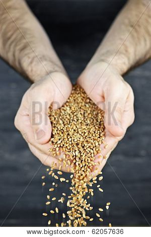 Male cupped hands pouring whole wheat grain kernels