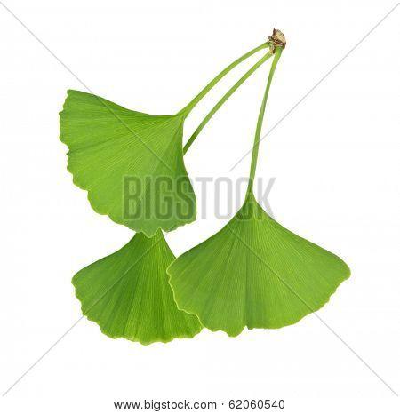 Three green ginkgo biloba leaves isolated on white background