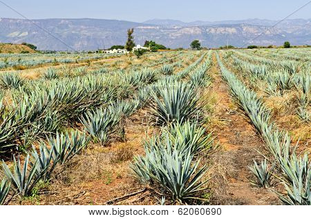 Agave cactus field near Tequila in Mexico