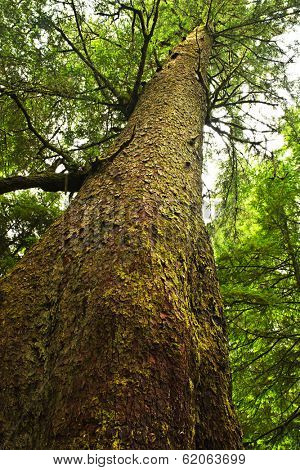 Tall western hemlock tree trunk in temperate rain forest. Pacific Rim National Park, British Columbia Canada
