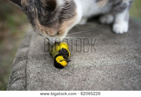 Calico Cat Sniffing Recently Killed Yellow Hooded Warbler Bird
