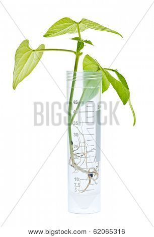 Genetically modified plant seedling in test tube isolated on white