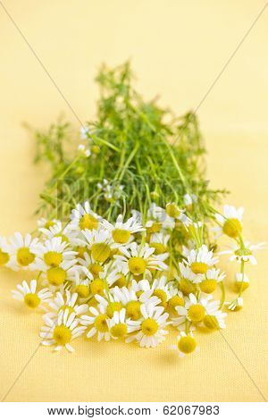 Bunch of fresh chamomile flowers on yellow background