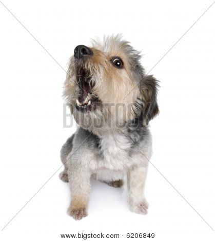 Cross-Rasse Hund bellen, 4 Jahre alt, an white background