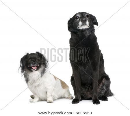 Two Bastard Dogs, 3 And 11 Years Old, Sitting In Front Of White Background