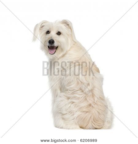 Back View Of A Pyrenean Shepherd, 2 Years Old, Sitting In Front Of White Background