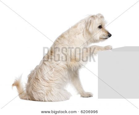 Pyrenean Shepherd, 2 Years Old, Sitting Near Pedestal In Front Of White Background