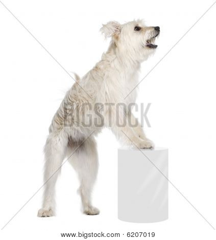 Pyrenean Shepherd, 2 Years Old, Standing Near Pedestal In Front Of White Background