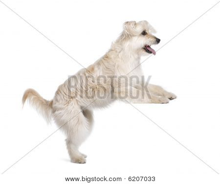 Pyrenean Shepherd, 2 Years Old, Standing In Front Of White Background