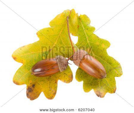 Acorns With Oak Leaves