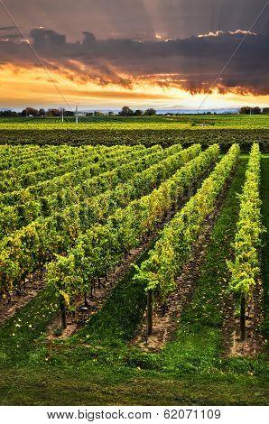Vineyard at sunset in Niagara peninsula, Ontario, Canada.