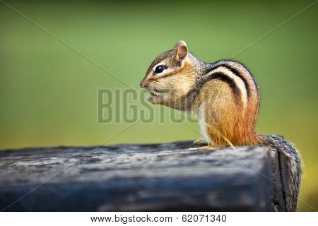 Wild chipmunk sitting on log eating peanut