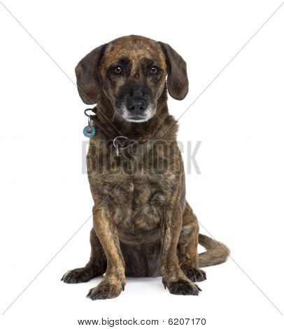 Old Bastard Dog, Sitting In Front Of White Background