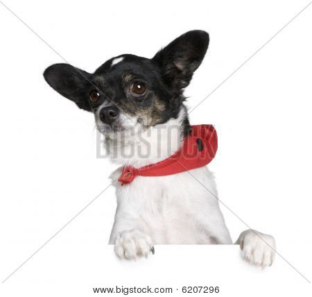 Bastard Dog In Red Handkerchief, Sitting In Front Of White Background