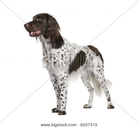 Small Munsterlander Dog, Standing In Front Of White Background